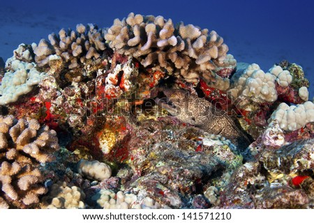 A yellow margin moray eel sitting near his den on a coral reef - stock photo