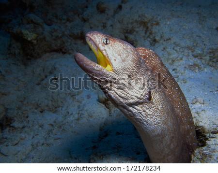 A yellow mouth moray (Gymnothorax nudivomer) at the Canyon, Red Sea - stock photo