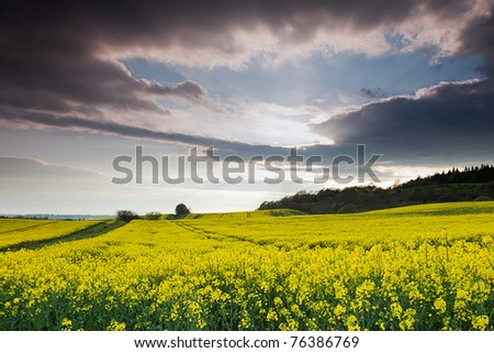 A yellow rapeseed field under a cloudy sky.
