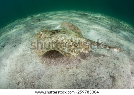 A Yellow stingray (Urobatis jamaicensis) is a bottom-dwelling species found in shallow waters near coral reefs throughout the Caribbean Sea. The animal can change the tonality of its coloration. - stock photo