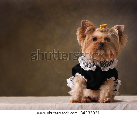 a Yorkshire Terrier look at me