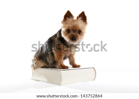 a yorkshire terrier on a book studio isolated on a white background - stock photo