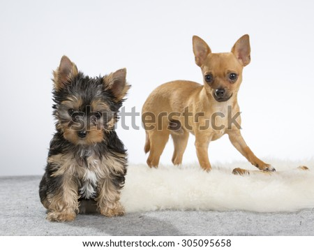 A yorkshire terrier puppy and a chihuahua posing in a studio. Image taken in a studio with a white background. The puppy is ten (10) weeks old. - stock photo