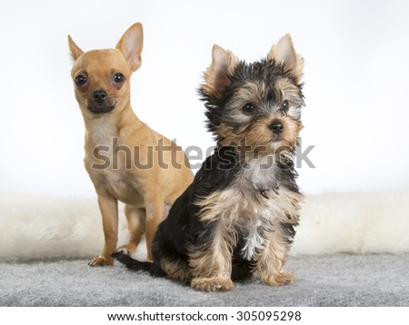 A yorkshire terrier puppy and a chihuahua posing together. Image taken in a studio with a white background. - stock photo