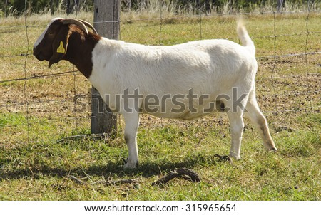 A young African Boer Goat on in the paddock farm. Selective focus with shallow depth of field. - stock photo