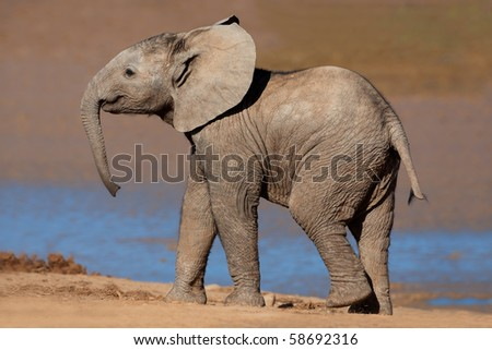 A young African elephant (Loxodonta africana), Addo Elephant park, South Africa - stock photo