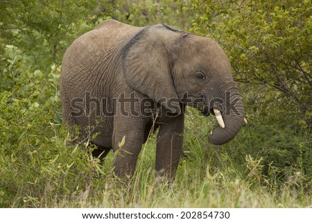 A Young African Elephant Standing in it's Natural Southern African Bushveld Habitat in the Kruger National Park in South Africa. - stock photo
