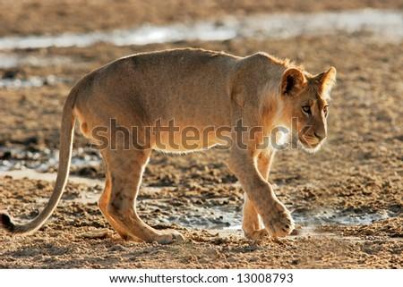 A young African lion, (Panthera leo) at a waterhole, Kalahari desert, South Africa - stock photo
