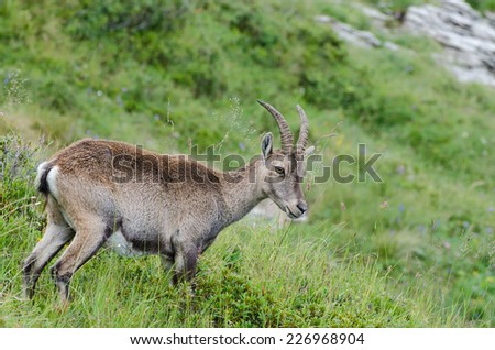 A young Alpine ibex photographed at mount Niederhorn, Bernese Oberland, Switzerland