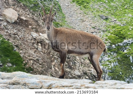 A young Alpine ibex photographed at Niederhorn, Bernese Oberland, Switzerland