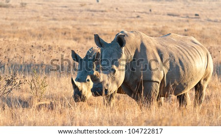 A young and adult Rhino grazing in the veld on an early morning