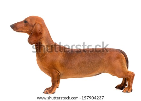 A young and beautiful teckel puppy, isolated over white background