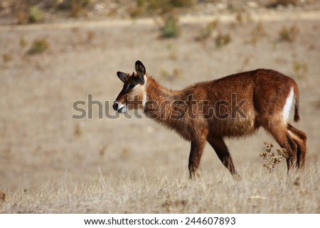 a young antelope Rouanne runs through the steppe