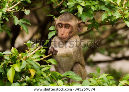 A young ape ( species of Longtail Macaque) picking some leaves for eating - stock photo