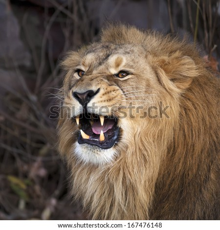 A young asian lion shows his huge fangs, resting in forest shadow. Square image. The King of beasts, biggest cat of the world. The most dangerous and mighty predator of the world. - stock photo