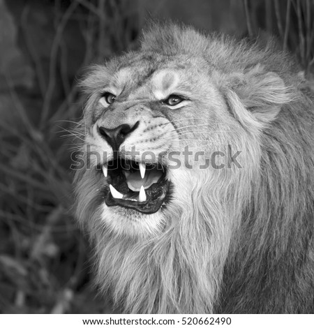 A young asian lion shows his huge fangs, resting in forest shadow. Square image. The King of beasts, biggest cat of the world. The most dangerous and mighty predator of world. Black and white image.