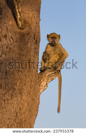 A young baboon, Papio ursinus, sitting on a broken branch in golden light, staring at the photographer with a worried frown. Hwange National Park, Zimbabwe. - stock photo