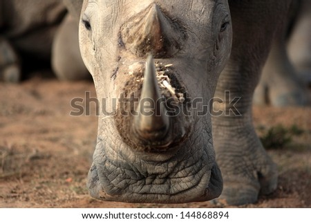 A young baby white rhino / rhinoceros calf walks past in beautiful golden sunlight during a safari in south Africa - stock photo