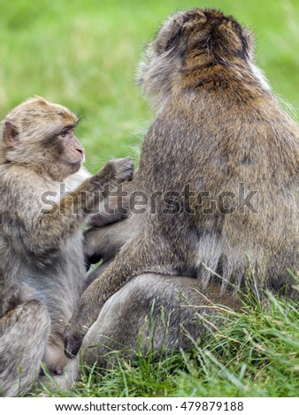 A young Barbary Macaque  (Macaca sylvanus) grooming adult male at monkey forest.
