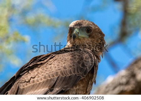 A young bataleur eagle looking rather regal in a tree in Kruger National Park, South Africa. - stock photo