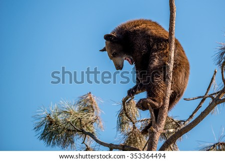 A young bear up high in a tree.