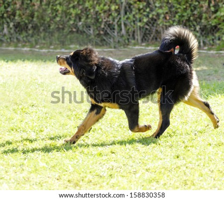 A young, beautiful, black and tan - gold Tibetan Mastiff puppy dog running on the lawn. Do Khyi dogs are known for being courageous, thoughtful and calm. - stock photo
