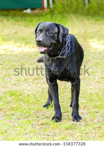 A young beautiful black labrador retriever standing happily on the lawn staring up. - stock photo