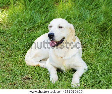 A young beautiful light golden retriever sitting happily on the lawn. Known for their intelligence, being very friendly and excellent guide dogs - stock photo