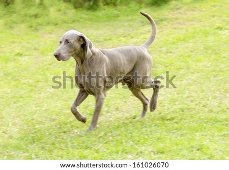 A young, beautiful, silver blue gray Weimaraner dog walking on the lawn with no docked tail. The Grey Ghost is a hunting gun dog originally bred for royalty and nobility. - stock photo