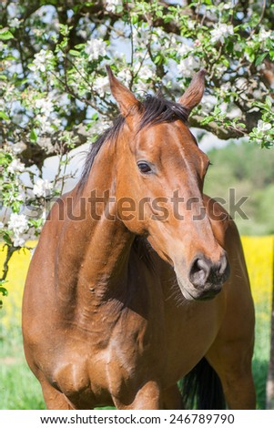 A young beautiful Thoroughbred mare with spring nature background - stock photo