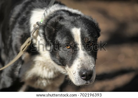 A young beautiful white and black Central Asian Shepherd Dog.
