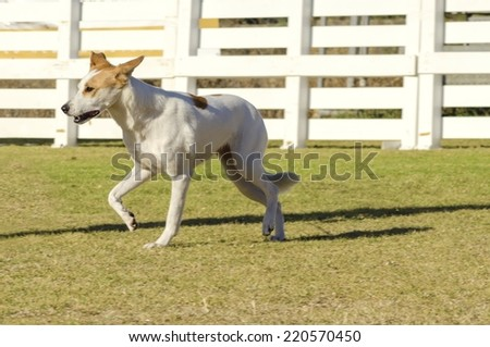A young,beautiful,white and cream,brown,orange sable Canaan walking on the grass looking happy. Kelef K'naani dogs are medium sized with erect ears, almond eyes, intelligent and very good watchdogs. - stock photo