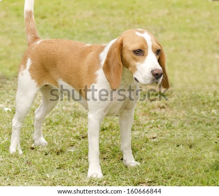 A young, beautiful, white and orange Istrian Shorthaired Hound puppy dog standing on the lawn. The Istrian Short haired Hound is a scent hound dog for hunting hare and foxes. - stock photo