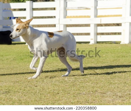 A young,beautiful,white,cream,brown,orange sable Canaan walking on the grass looking happy and playful.Kelef K'naani dogs are medium sized with erect ears,almond eyes,intelligent, very good watchdogs - stock photo