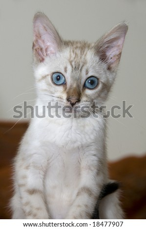 A young bengal kitten with a brown background