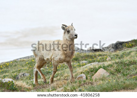 A young big horn sheep on the tundra in Colorado.