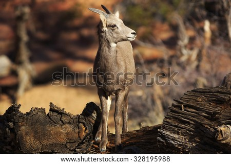 A young bighorn sheep climbs over an old log in Zion National Park, Utah. - stock photo