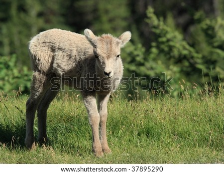 A young bighorn sheep in Banff National Park, Alberta, Canada.
