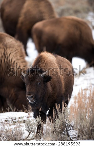 A young bison in Yellowstone National Park; looks surprised by seeing photographer