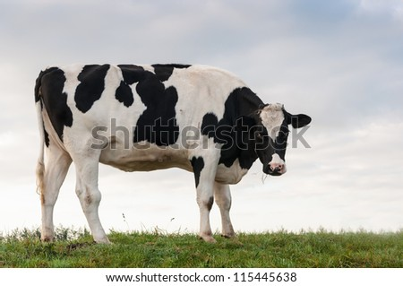 A young black and white colored cow is standing on the top of a dike in the Netherlands. It is still early in the morning. - stock photo
