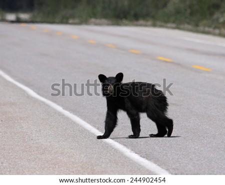 A young black bear (Ursus americanus) crossing the road. Shot in Banff National Park, Alberta, Canada.  - stock photo