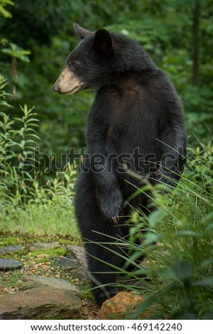 A young black bear (Ursus americanus) standing tall in the mountains of Western North Carolina. This is near the border of Tennessee.