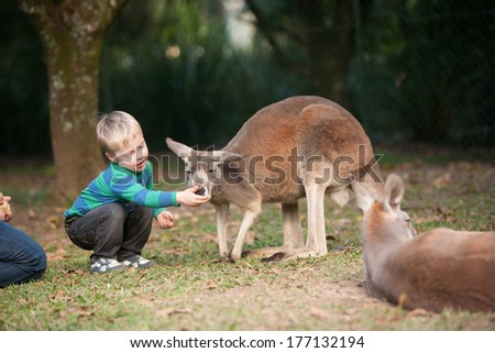 A young boy feeds a Kangaroo in Australia at the zoo - stock photo