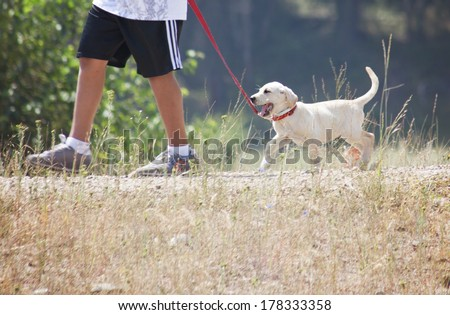 a young boy taking a small labrador retriever puppy for a walk on a red leash - stock photo