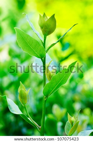 a young branch of laurel on a green background