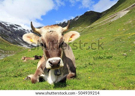 A young brown cattle in the mountains with horns and bell