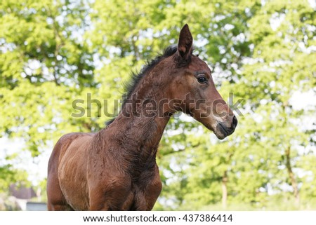 A young brown foal on a green pasture in summer