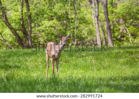 A young buck with new antlers growing is looking curious in a suburban yard with woods and trees in the background.