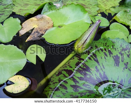 A young budding unbloomed lotus flower among waterlilies in a pond. - stock photo