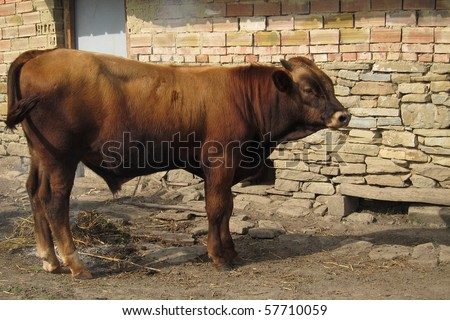 A young bull standing by the farm wall - stock photo